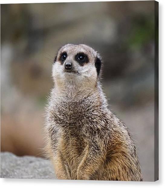 Meerkats Canvas Print - #meerkat At #edinburghzoo Last Night by John Cuthbert