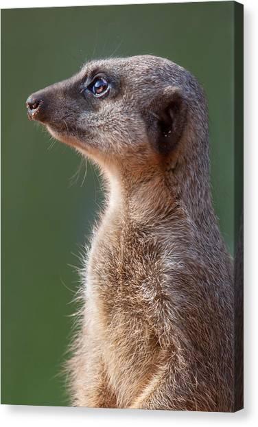 Meerkats Canvas Print - Meerkat Centurion by Julie L Hoddinott