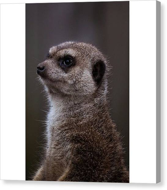 Meerkats Canvas Print - #meerkat #meerkatlover #stokstaartje by Stefan Van der wijst
