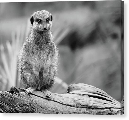 Meerkats Canvas Print - Meerkat Mount by Martin Newman