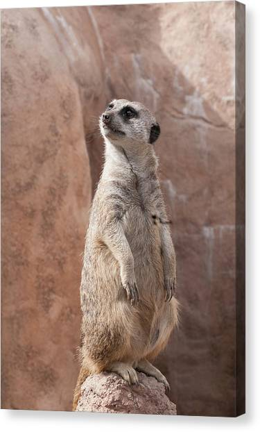 Meerkat Sentry 1 Canvas Print