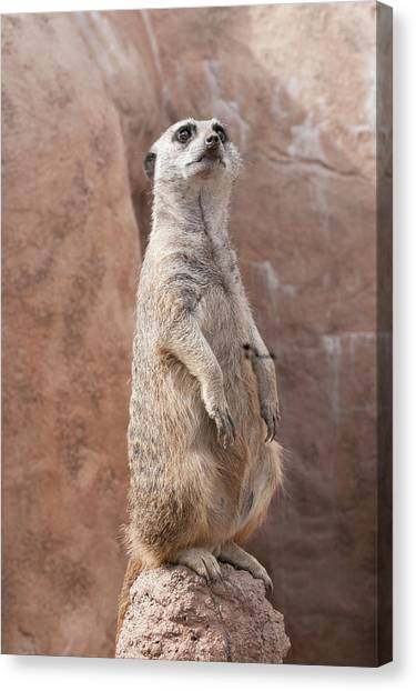 Meerkat Sentry 2 Canvas Print