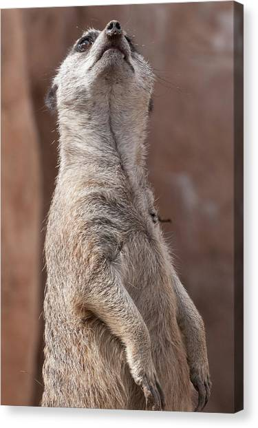 Meerkat Sentry 4 Canvas Print