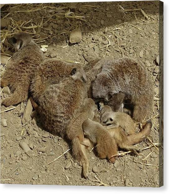 Meerkats Canvas Print - Meerkats And Their Babies.  #meerkats by Lisa Bird