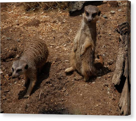 Canvas Print featuring the photograph Meerkats by Chris Flees