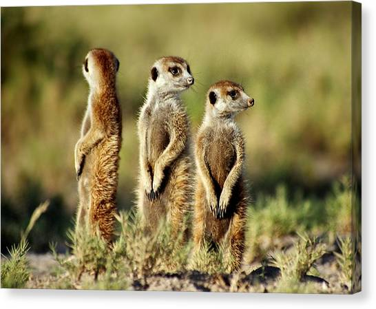 Meerkats Three Canvas Print