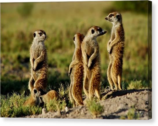 Meerkats Watching Everywhere Canvas Print