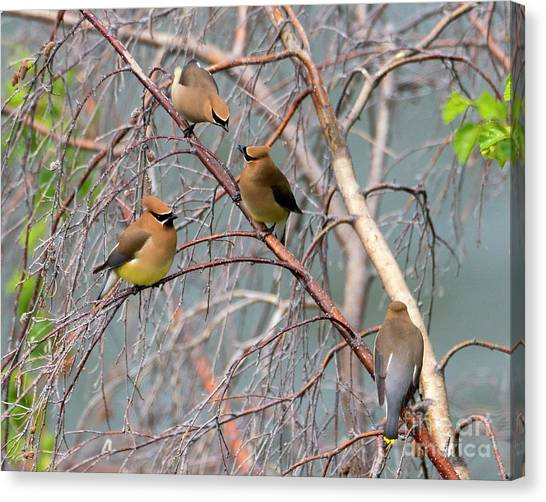 Cedar Waxwing Canvas Print - Meeting Of The Waxwings by Mike Dawson