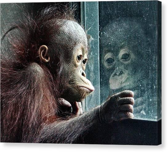 Orangutans Canvas Print - Melancholy Baby by Wade Aiken