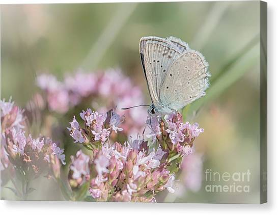 Meleagers Blue Butterfly Canvas Print