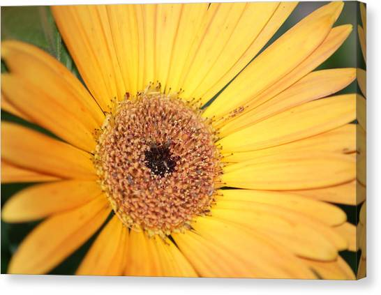 Mellow Yellow Canvas Print by Ron Read