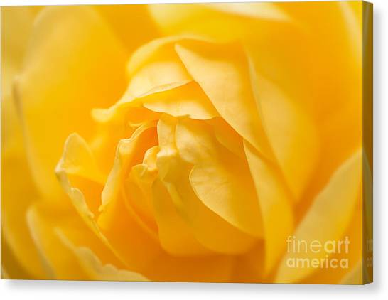 Mellow Yellow Rose Canvas Print