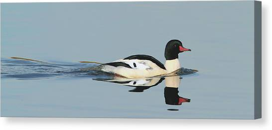 Merganser Panorama Canvas Print