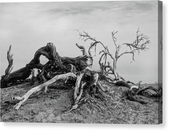 Mesquite Roots - Death Valley 2015 Canvas Print