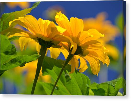 Mexican Sunflower Tree Canvas Print