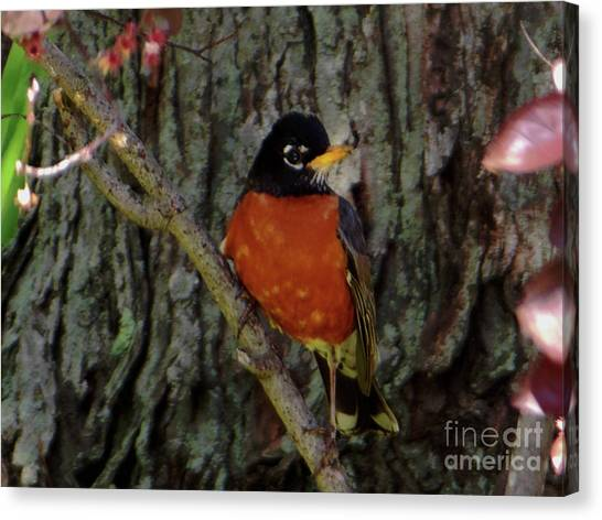 Michigan State Bird Robin Canvas Print