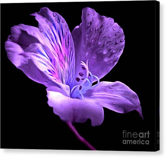 Amaryllis Canvas Print - Midnight Calm by Krissy Katsimbras