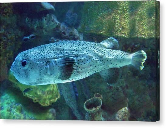 Puffer Canvas Print - Mighty Blue Puffer by Betsy Knapp