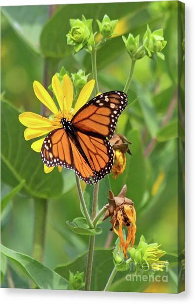 Mighty Monarch   Canvas Print