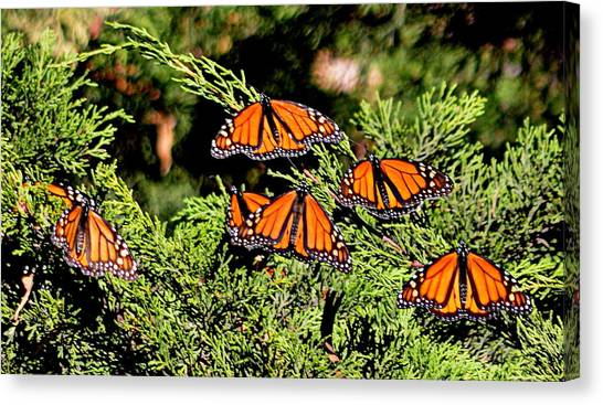 Canvas Print featuring the photograph Migrating Monarchs by AJ Schibig
