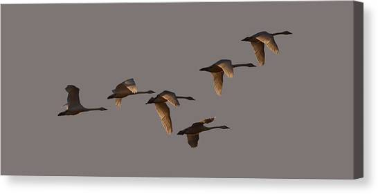 Migrating Swans Canvas Print