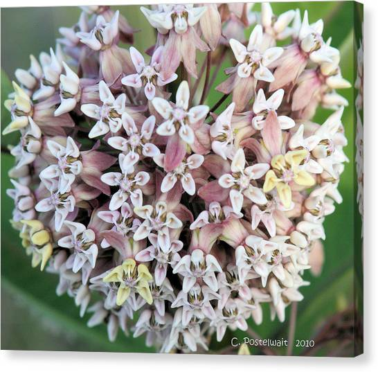 Milkweed Flower Ball Canvas Print