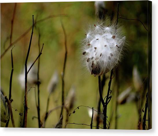 Milkweed In A Field Canvas Print