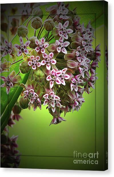 Milkweed In Bloom Canvas Print by Deborah Johnson