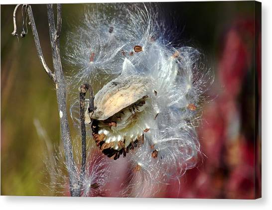 Milkweed Silk Canvas Print