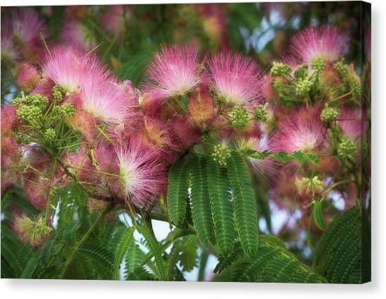 Mimosa Canvas Print - Mimosa by Donna Kennedy