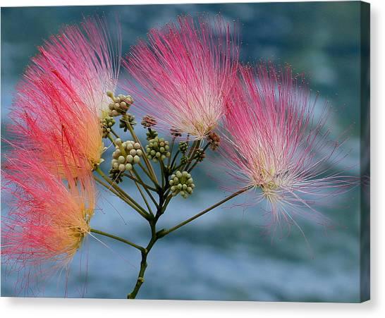 Mimosa Canvas Print by Farol Tomson
