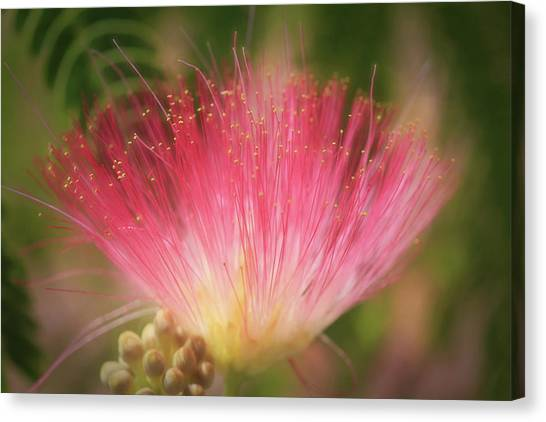 Mimosa Canvas Print - Mimosa Silk Optics by Donna Kennedy