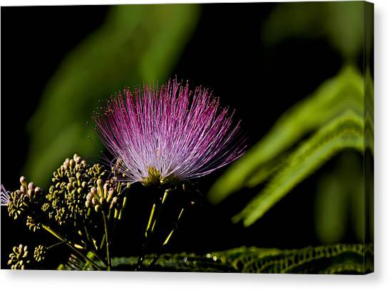 Mimosa Tree Bloom Canvas Print by Michael Whitaker