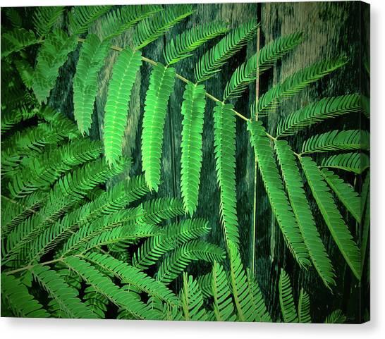 Mimosa Canvas Print - Mimosa Tree by Tony Grider