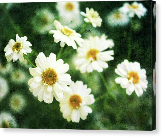 Mini Spring Daisy's Canvas Print by Cathie Tyler