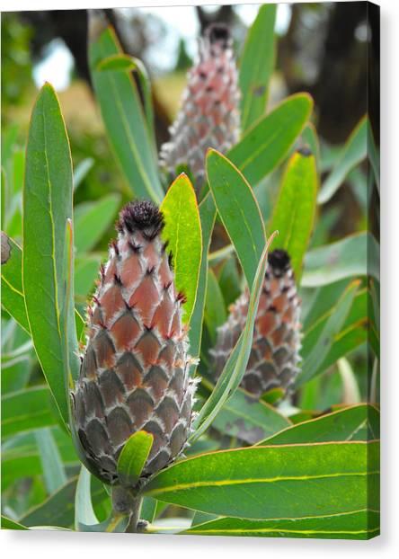 Mink Protea Flower Canvas Print