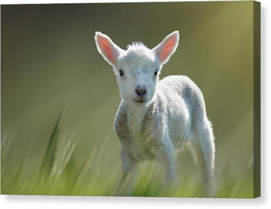 Minnie The Spring Lamb Canvas Print