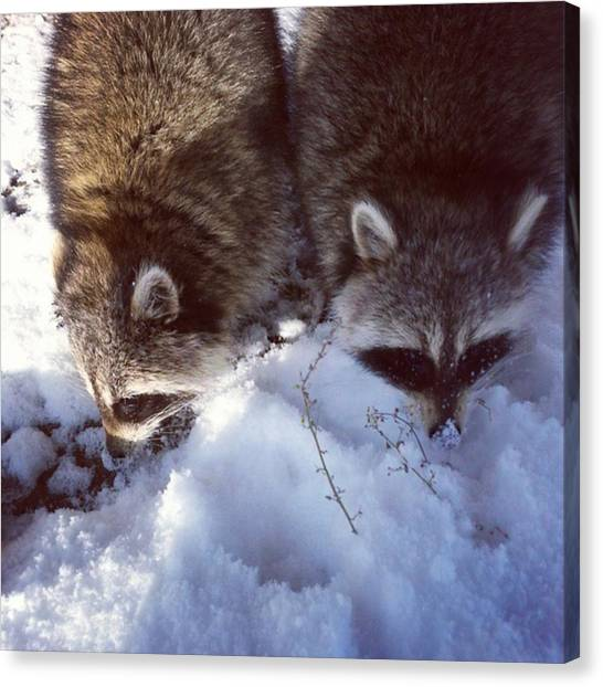 Raccoons Canvas Print - Missing My Furballs, Hope Theyre Doing by Deni Mcguire