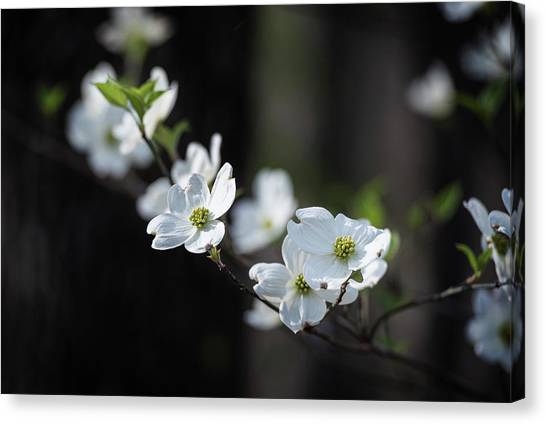 Missouri Dogwood Canvas Print