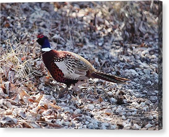Missouri  Pheasant Canvas Print