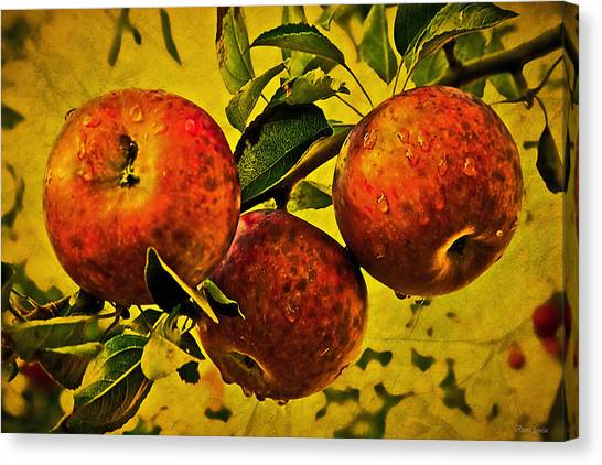 Mister's Apples Canvas Print
