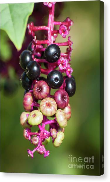 Mixed Berries On Branch Canvas Print