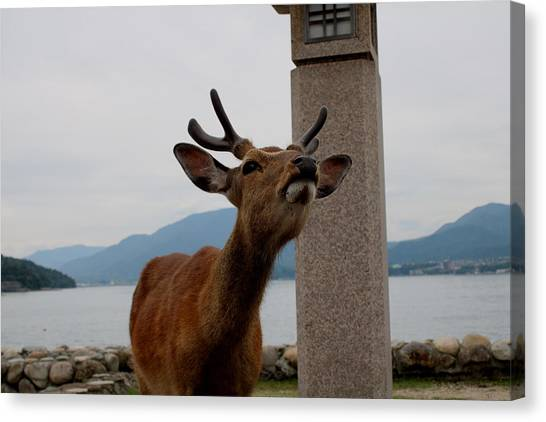 Miyajima Deer Canvas Print