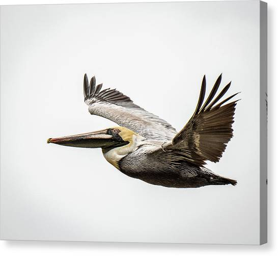 Mobile Bay Pelican Canvas Print
