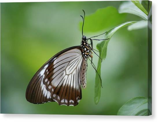 Mocker Swallowtail Canvas Print by Jeff VanDyke