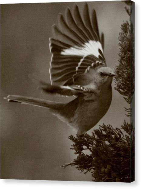 Mockingbird Canvas Print - Mockingbird In A Pine by Christopher Kirby