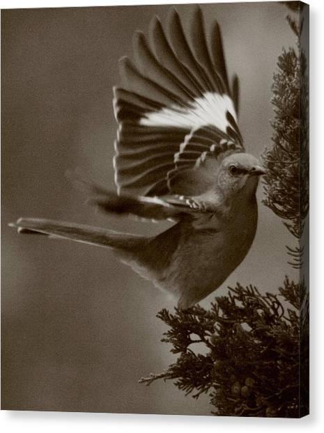 Mockingbirds Canvas Print - Mockingbird In A Pine by Christopher Kirby