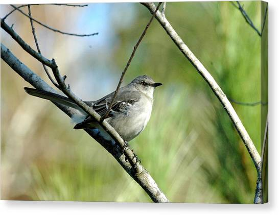 Mockingbird In Green Canvas Print by Teresa Blanton