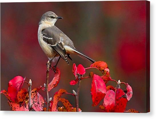 Mockingbird Canvas Print - Mockingbird On Red by William Jobes