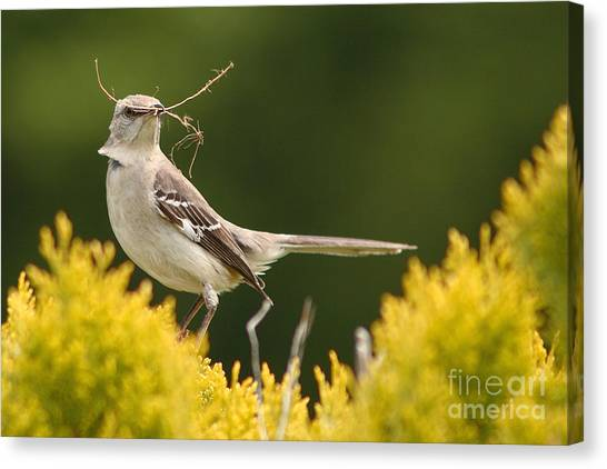 Mockingbird Canvas Print - Mockingbird Perched With Nesting Material by Max Allen